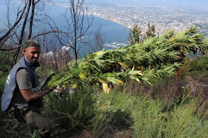 Cannabis Monte Faito